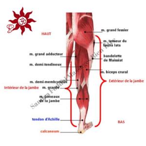 Sandra Foddai Massages Bien-Être - ANATOMIE JAMBE